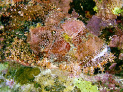 Scorpionfish chilling on the Sha'brurh Umm Gammar reef by Peter Bot 